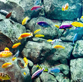 Cichlids Royalty Free Stock Images