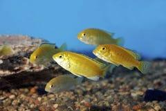 Cichlids amarillos eléctricos 700078 Foto de archivo