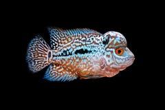 Cichlids in aquarium stock foto's