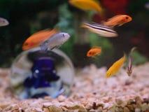 Cichlids in the aquarium stock video footage