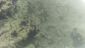 Cichlids d'eau douce dans le Hotspring de l'Utah banque de vidéos