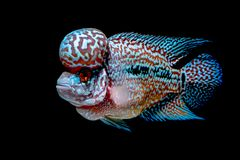 Cichlids fish in beautiful aquariums. To come back stock photography
