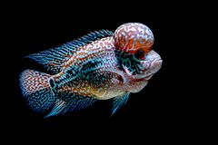 Cichlids fish in beautiful aquariums. To come back royalty free stock photo
