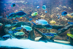 Cichlids Royalty Free Stock Photos