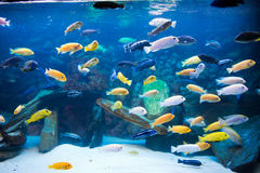 Cichlids Stock Photos