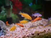 Cichlids in het aquarium stock videobeelden