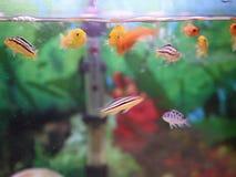 Cichlids i akvariet lager videofilmer
