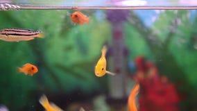 Cichlids i akvariet arkivfilmer