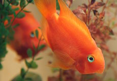 Cichlids, Parrot fish Royalty Free Stock Photography