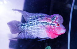 Cichlids schwimmen in einem Aquarium Stockfotografie