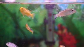Cichlids stock video
