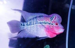 Cichlids zwemt in een aquarium Stock Fotografie