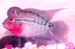 Cichlids zwemt in een aquarium Stock Afbeelding