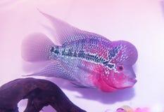 Cichlids zwemt in een aquarium Stock Afbeeldingen