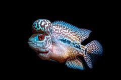 Cichlidsvissen in aquarium stock foto