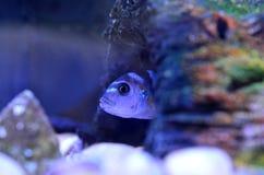 Cichlidvissen in aquarium Wetenschappelijke Naam: Pseudotropheus Demasoni royalty-vrije stock foto