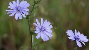 Cichorium μπλε άγριο λουλούδι ραδικιού intybus κοινό στη φύση απόθεμα βίντεο