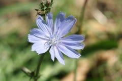 Cichorium del fiore Immagini Stock Libere da Diritti