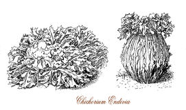 Cichorium endivia, botanical vintage engraving Royalty Free Stock Images