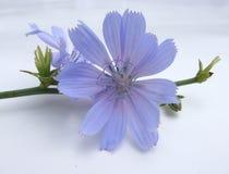 Cichorium Royalty Free Stock Image