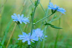 Cichorium intybus. Flowers horizontal photo Stock Photography