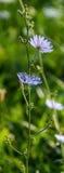Cichorium intybus blue flower Royalty Free Stock Photography