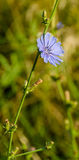 Cichorium intybus blue flower Stock Images