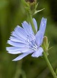 Cichorium intybus - common chicory flower Royalty Free Stock Photos