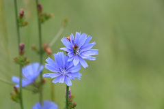 Cichorium intybus Stock Photos