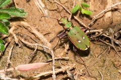 Cicindela campestris Stock Photography