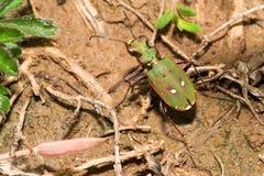 Cicindela campestris. Beetle Cicindela campestris is a fast hunter Stock Photography