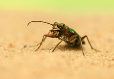 Cicindela campestris Royalty Free Stock Photos