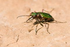 Cicindela campestris Stock Photos