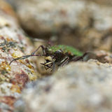 Cicindela campestris Royalty Free Stock Photography