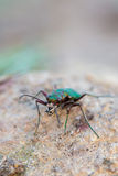 Cicindela campestris Royalty Free Stock Photo