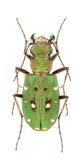 Cicindela campestris nigrita Stock Image