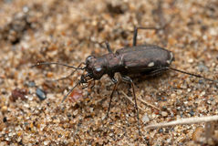 Cicindela germanica Stock Images