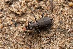 Cicindela germanica Royalty Free Stock Photo
