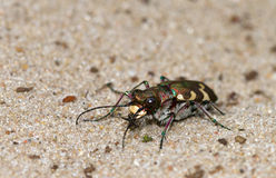 Cicindela hybrida Stock Photos