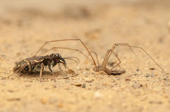 Cicindela hybrida and Pholcus Stock Image