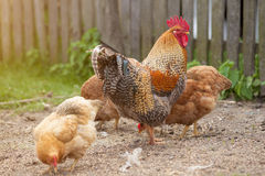 Cickens et coq dans l'arrière-cour Photographie stock
