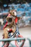 Ciclagem do macaco do circo Imagem de Stock