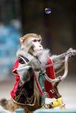Ciclagem do macaco do circo Foto de Stock