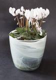 Ciclamen blanco en pote de la planta Imágenes de archivo libres de regalías