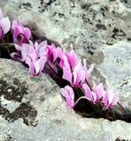Ciclamen de la primavera que florece en las montañas griegas Imágenes de archivo libres de regalías