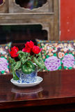 Ciclamino conservato in vaso Fotografia Stock