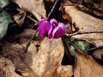 Ciclamino di fioritura Fotografie Stock Libere da Diritti