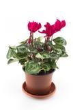 Ciclamino rosso conservato in vaso su un fondo bianco Immagine Stock Libera da Diritti