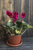 Ciclamino rosso conservato in vaso su un fondo di legno rustico Fotografia Stock