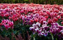 Ciclamino sul mercato del fiore Immagini Stock